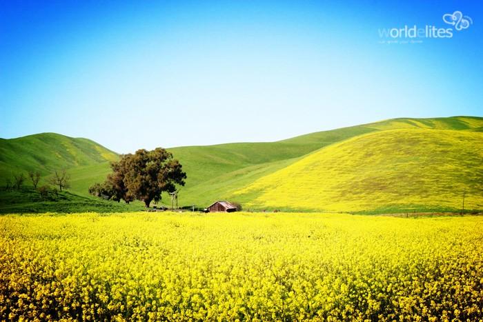 春假去哪儿?来加州看油菜花吧!